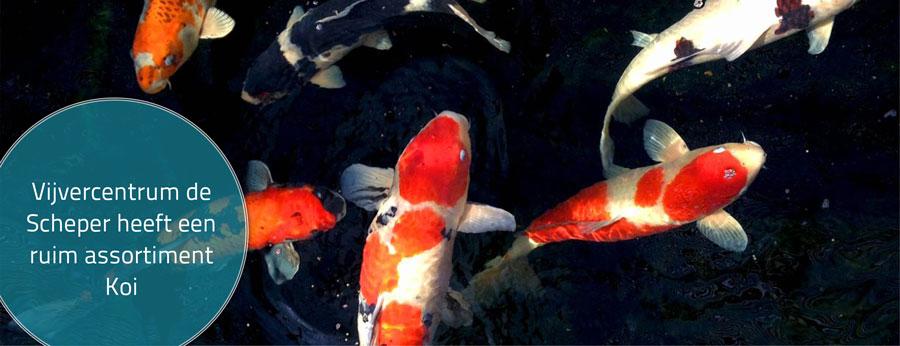 Vijvervissen te koop op voorraad in onze winkel for Vissen vijver
