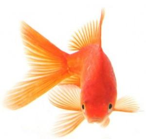 Goudvis goudvissen soorten kopen voer for Voorgevormde koivijver