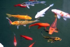 Soorten vijvervissen