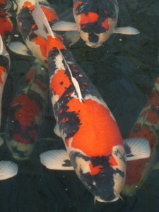 "Momotaro Koi Grand Champion ""Lion Queen"" Vijvercentrum Scheper"