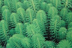 zuurstofplanten vijver